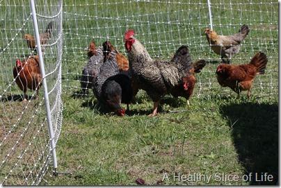 bakrs rooster