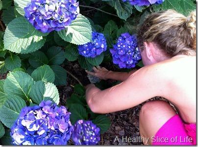 grow your own hydrangeas