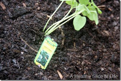 backyard garden- baby okra plant