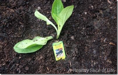 backyard garden- baby zucchini plant