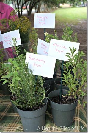 savannah- stevia plants