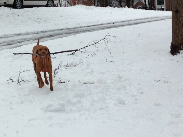 snow vizsla