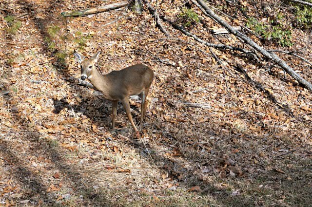 stone moutain state park north carolina- deer