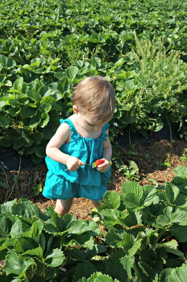patterson farms strawberries nc- 3