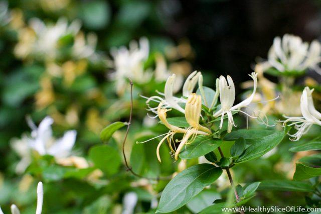 honeysuckles in spring