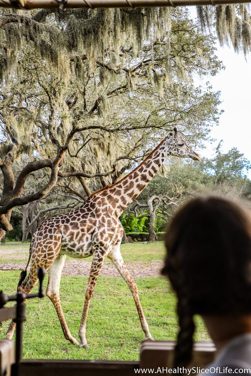 Safari at Animal Kingdom Giraffe