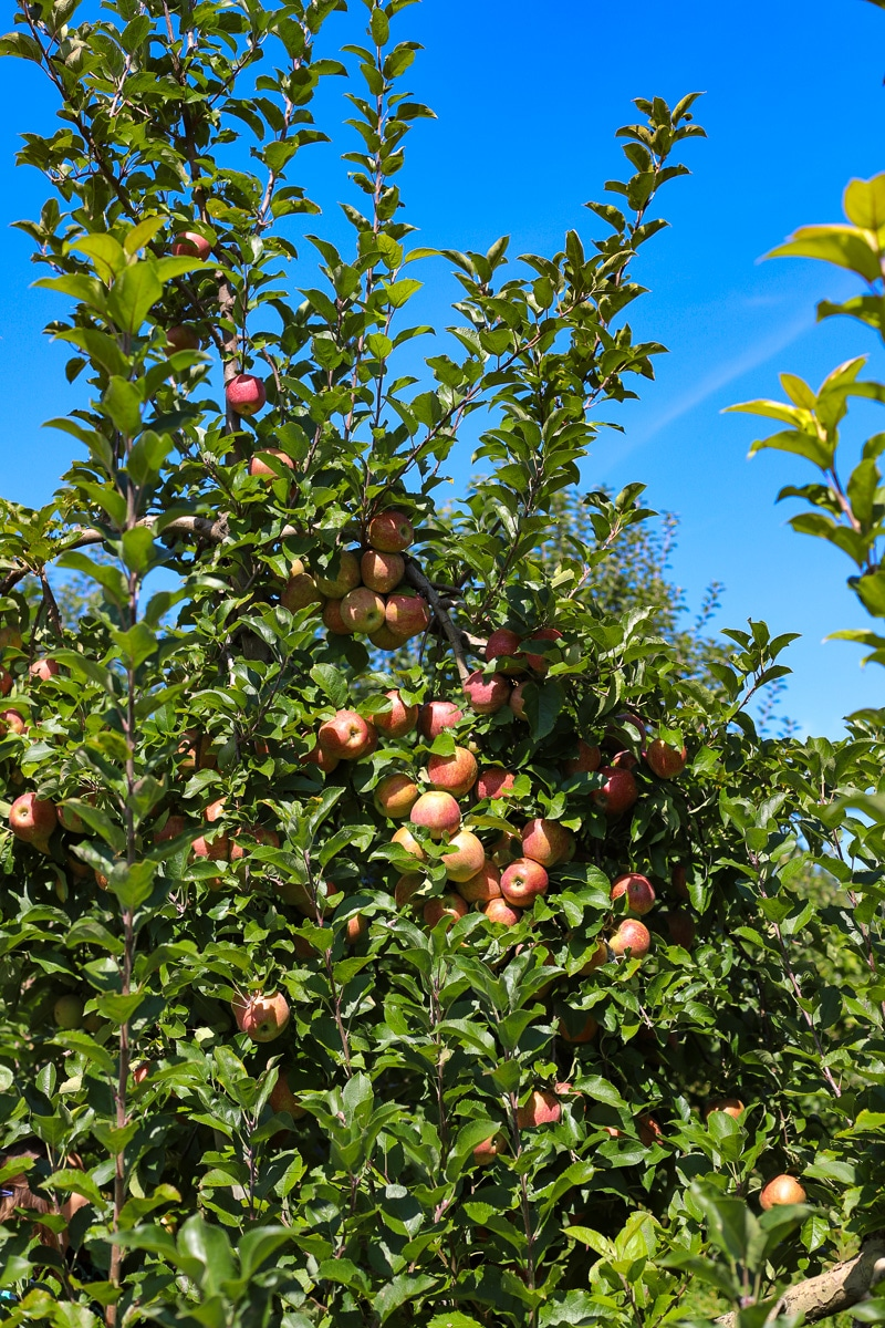 Stepp's Hillcrest Orchard NC (4 of 23)